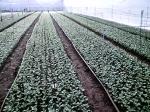 Fifty meter beds under irrigation