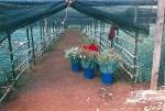 Shade-house Carnations #3